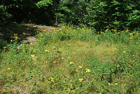 A dry forest opening near Bolingbroke, dominated by Woodland Sunflower (Helianthus divaricatus).