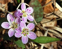 Spring-beauty (Claytonia caroliniana)