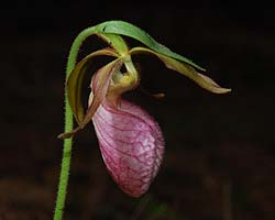 Moccasin-flower (Cypripedium acule)