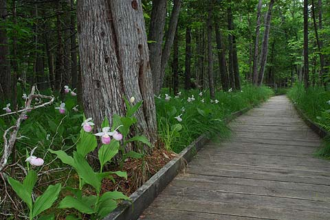 The popular boardwalk through the Showy Lady-slipper colony at Purdon.